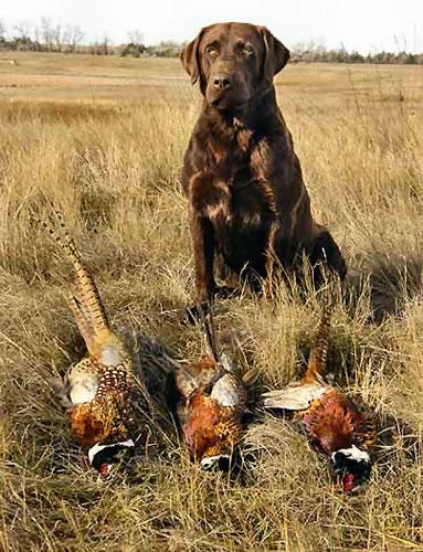 Chocolate Labrador Retriever Hunting   www.pixshark.com ...