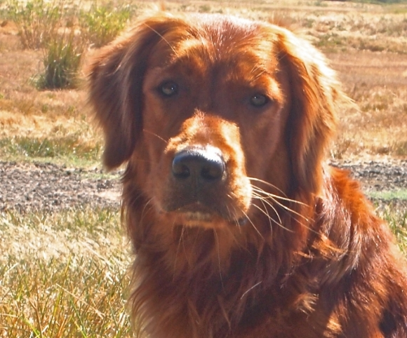 Retriever Puppies For Sale Portland Oregon Rogue Retrievers