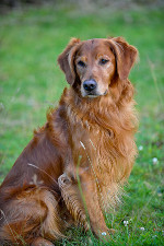 Stud Dogs Oregon Golden Retriever Rogue Retrievers